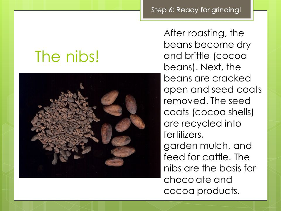 The nibs. After roasting, the beans become dry and brittle (cocoa beans).