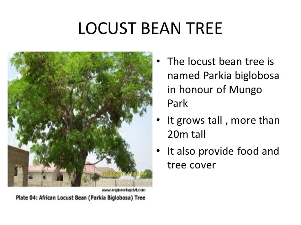 LOCUST BEAN TREE The locust bean tree is named Parkia biglobosa in honour of Mungo Park It grows tall, more than 20m tall It also provide food and tre