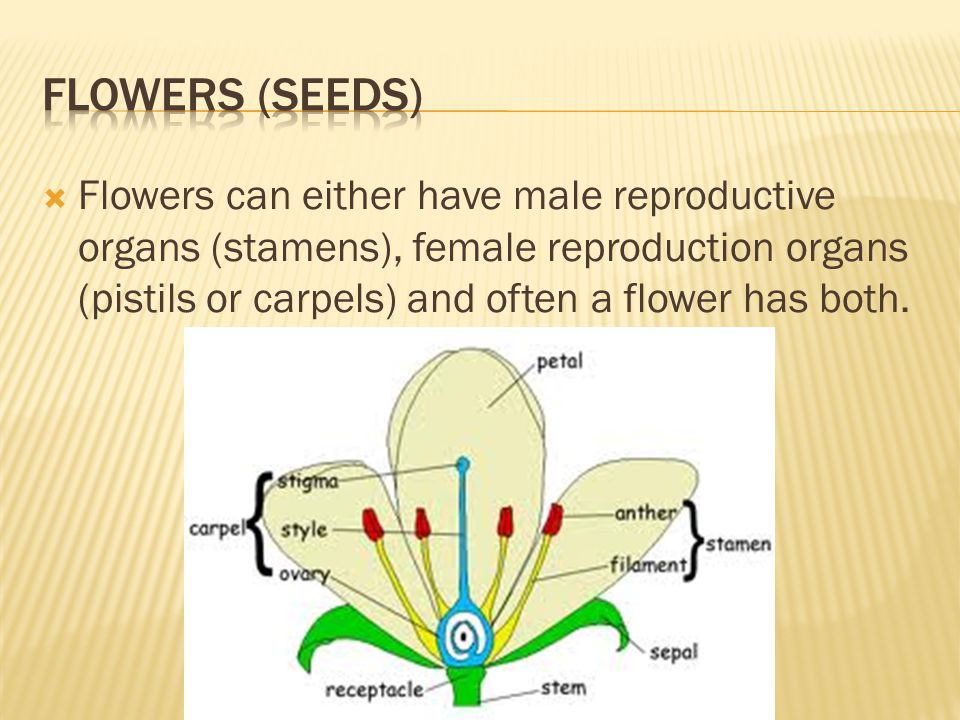  Flowers can either have male reproductive organs (stamens), female reproduction organs (pistils or carpels) and often a flower has both.