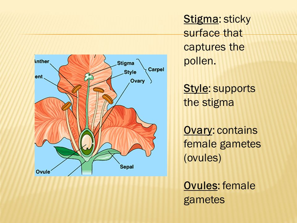 Stigma: sticky surface that captures the pollen. Style: supports the stigma Ovary: contains female gametes (ovules) Ovules: female gametes