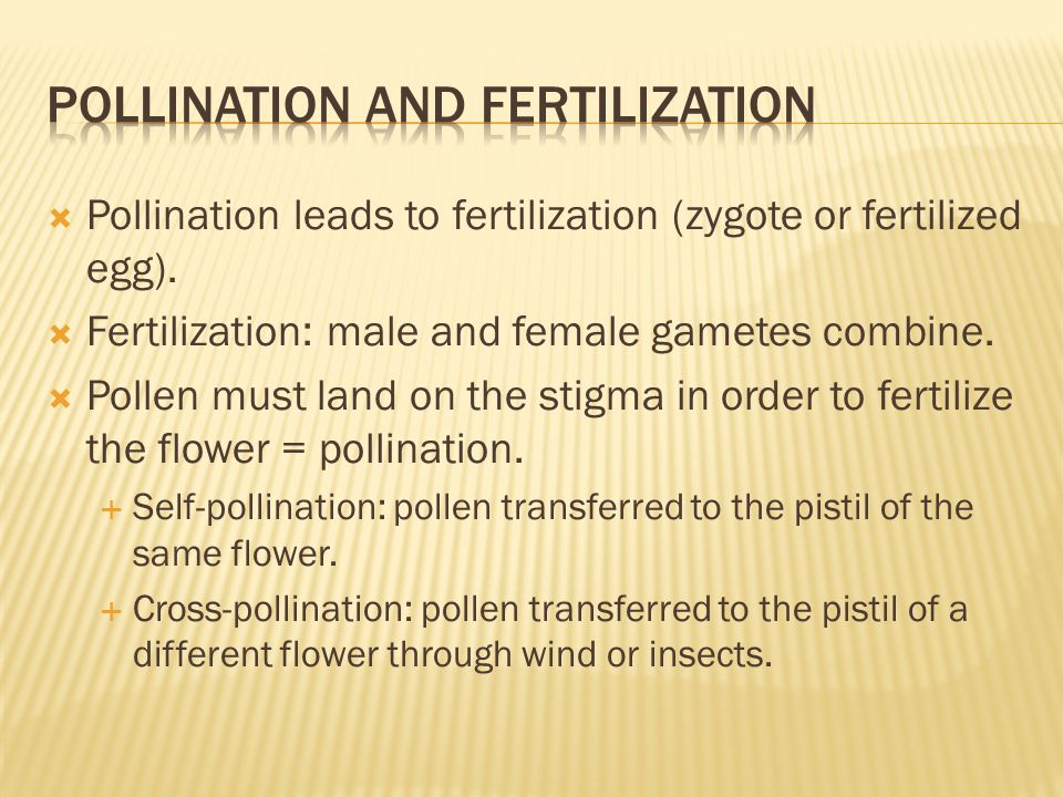  Pollination leads to fertilization (zygote or fertilized egg).