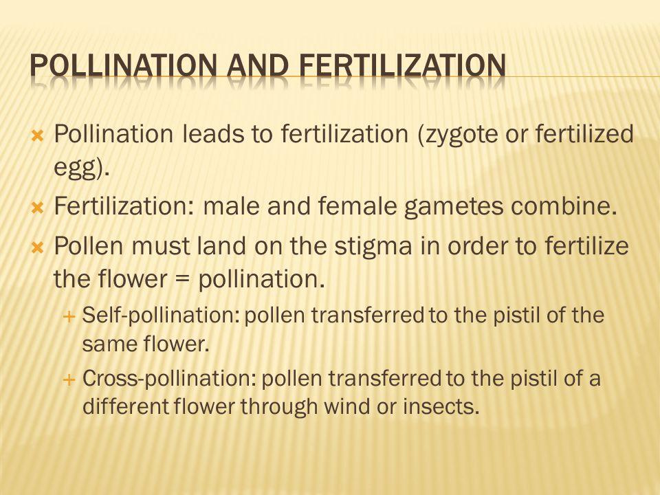  Pollination leads to fertilization (zygote or fertilized egg).