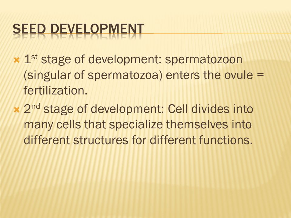  1 st stage of development: spermatozoon (singular of spermatozoa) enters the ovule = fertilization.  2 nd stage of development: Cell divides into m
