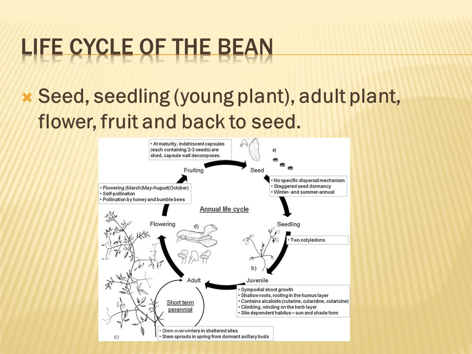  Seed, seedling (young plant), adult plant, flower, fruit and back to seed.
