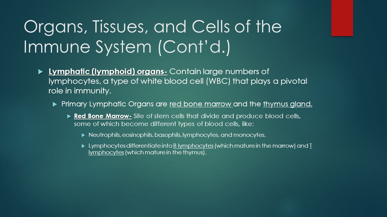 Organs, Tissues, and Cells of the Immune System (Cont'd.)  Lymphatic (lymphoid) organs-  Lymphatic (lymphoid) organs- Contain large numbers of lymphocytes, a type of white blood cell (WBC) that plays a pivotal role in immunity.
