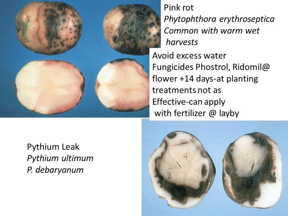 Pythium Leak Pythium ultimum P.