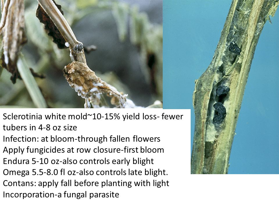 Sclerotinia white mold~10-15% yield loss- fewer tubers in 4-8 oz size Infection: at bloom-through fallen flowers Apply fungicides at row closure-first bloom Endura 5-10 oz-also controls early blight Omega 5.5-8.0 fl oz-also controls late blight.