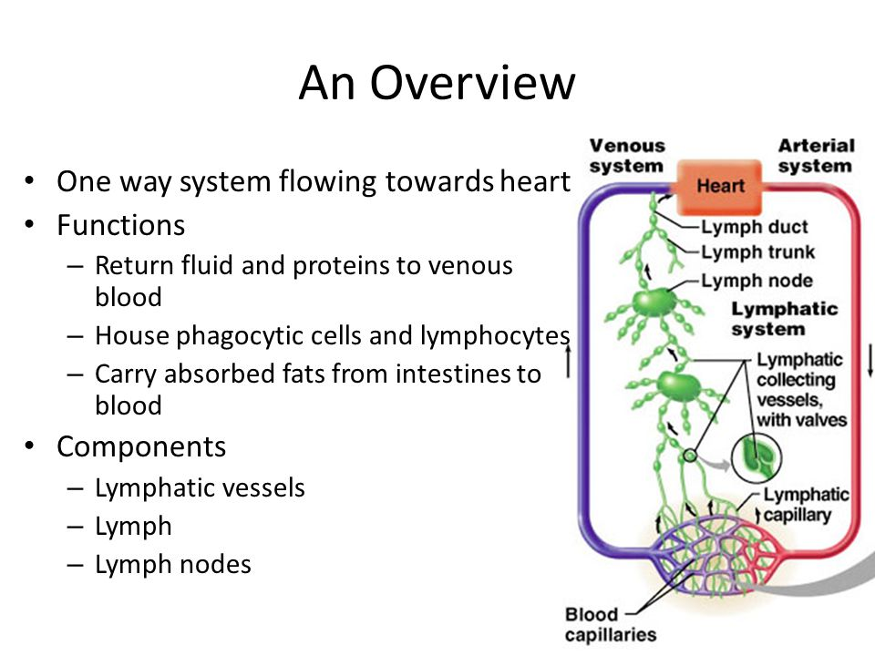 An Overview One way system flowing towards heart Functions – Return fluid and proteins to venous blood – House phagocytic cells and lymphocytes – Carry absorbed fats from intestines to blood Components – Lymphatic vessels – Lymph – Lymph nodes
