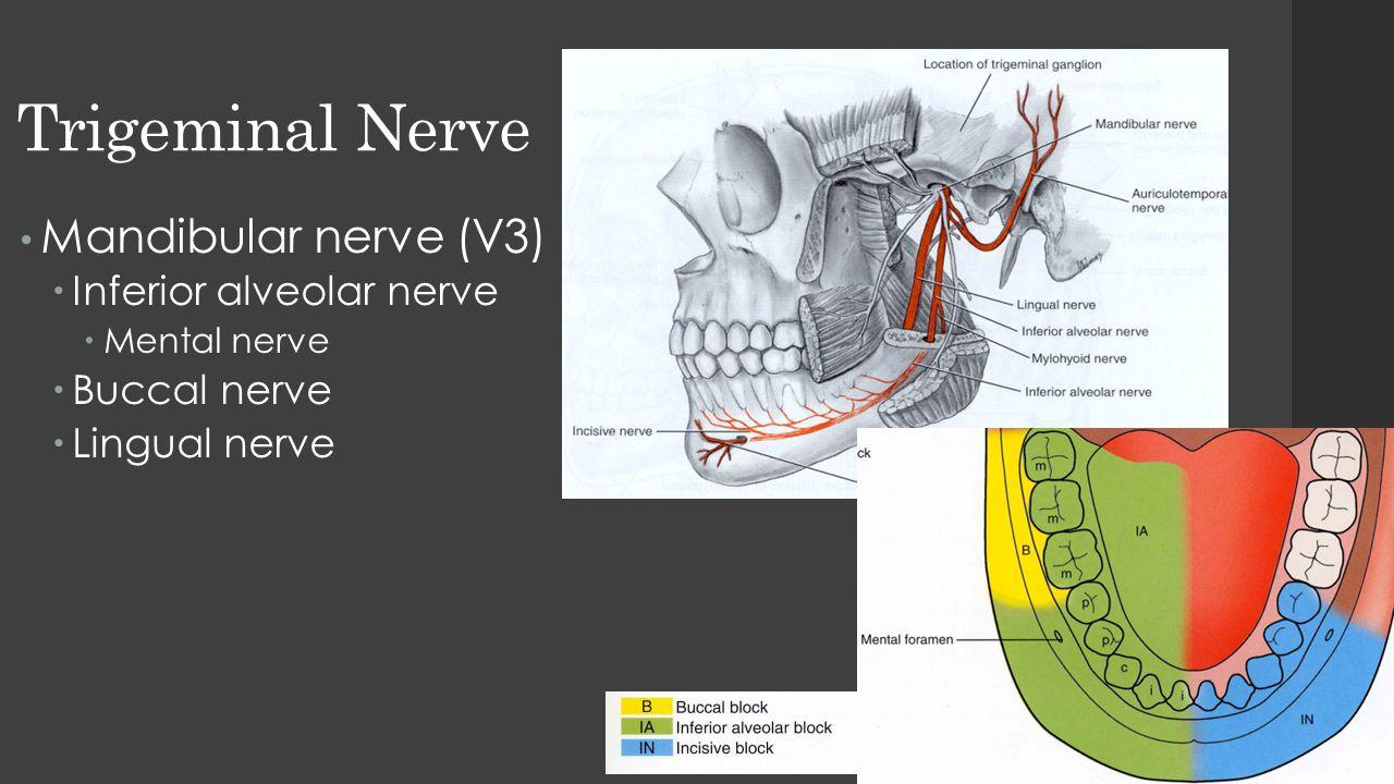 Trigeminal Nerve Mandibular nerve (V3)  Inferior alveolar nerve  Mental nerve  Buccal nerve  Lingual nerve