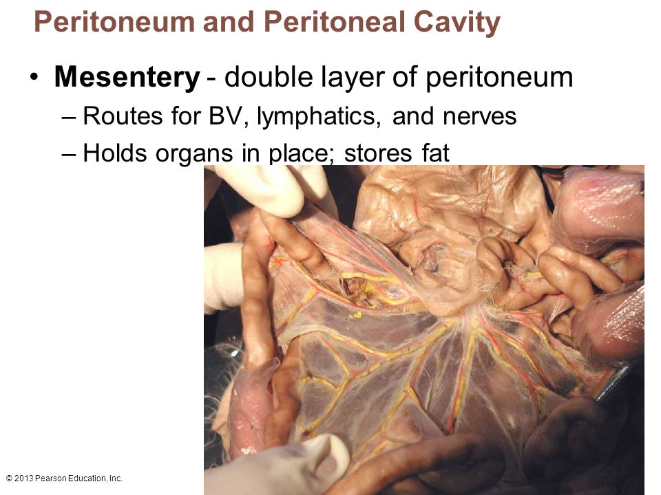 © 2013 Pearson Education, Inc. Peritoneum and Peritoneal Cavity Mesentery - double layer of peritoneum –Routes for BV, lymphatics, and nerves –Holds o