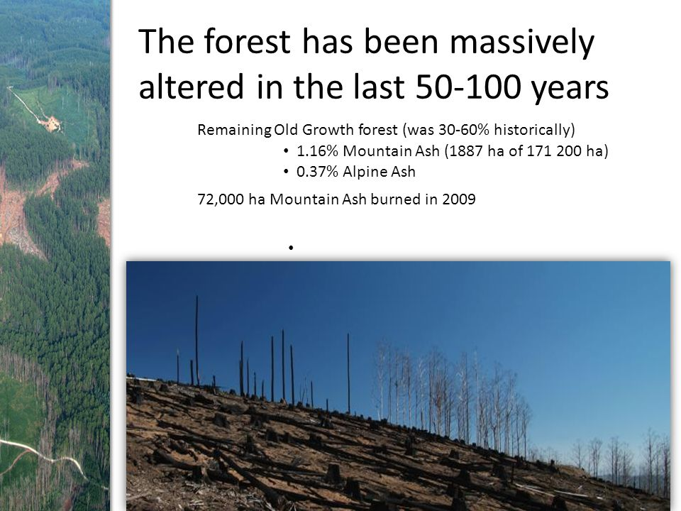 The forest has been massively altered in the last 50-100 years 1.16% Mountain Ash (1887 ha of 171 200 ha) 0.37% Alpine Ash Remaining Old Growth forest