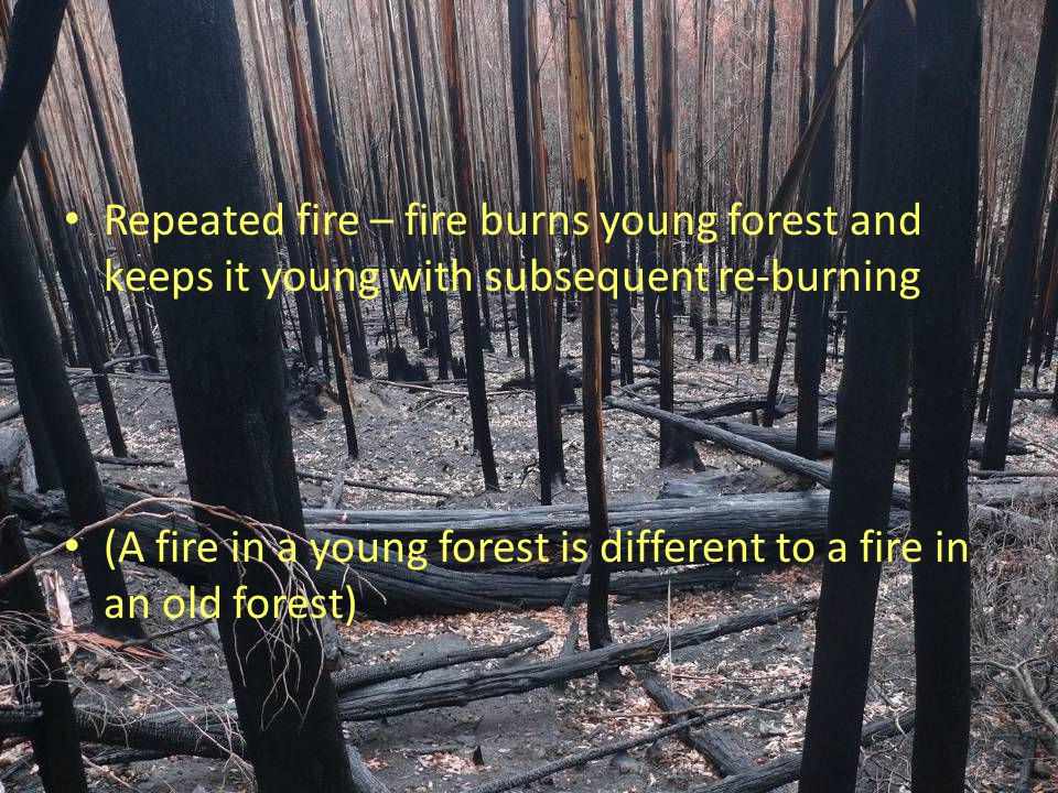 Repeated fire – fire burns young forest and keeps it young with subsequent re-burning (A fire in a young forest is different to a fire in an old fores