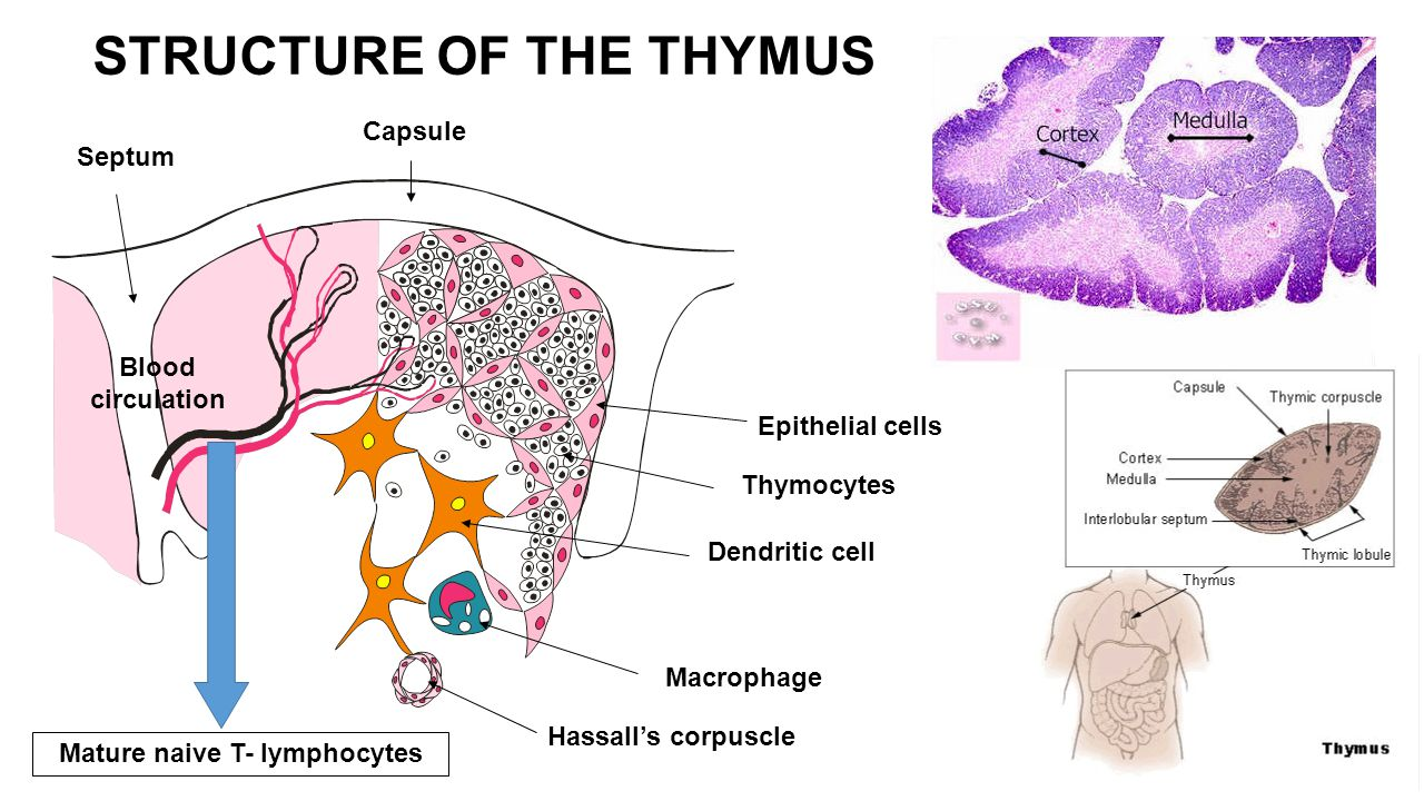 Blood circulation Macrophage Hassall's corpuscle Dendritic cell Thymocytes Epithelial cells Capsule Septum Mature naive T- lymphocytes STRUCTURE OF THE THYMUS