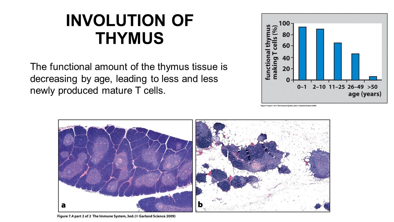 INVOLUTION OF THYMUS The functional amount of the thymus tissue is decreasing by age, leading to less and less newly produced mature T cells.