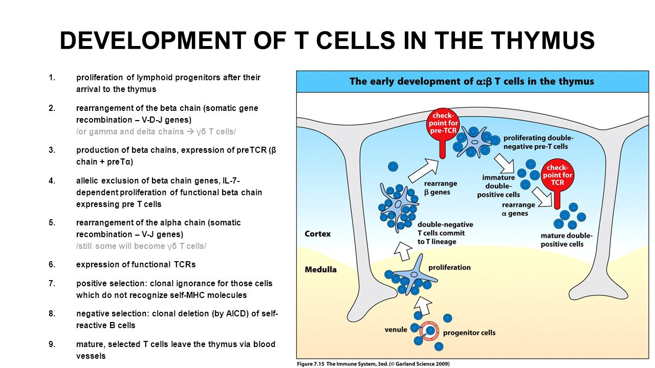 DEVELOPMENT OF T CELLS IN THE THYMUS 1.proliferation of lymphoid progenitors after their arrival to the thymus 2.rearrangement of the beta chain (soma
