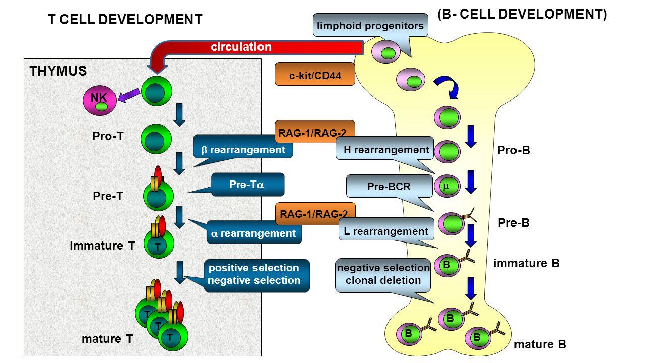 T CELL DEVELOPMENT NK  rearrangement Pre-T Pre-T  positive selection negative selection T T T mature T limphoid progenitors THYMUS  rearrangement c