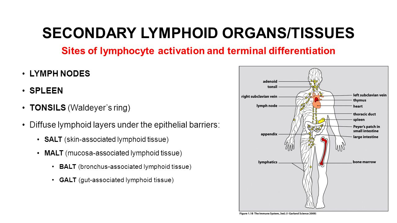 SECONDARY LYMPHOID ORGANS/TISSUES LYMPH NODES SPLEEN TONSILS (Waldeyer's ring) Diffuse lymphoid layers under the epithelial barriers: SALT (skin-associated lymphoid tissue) MALT (mucosa-associated lymphoid tissue) BALT (bronchus-associated lymphoid tissue) GALT (gut-associated lymphoid tissue) Sites of lymphocyte activation and terminal differentiation