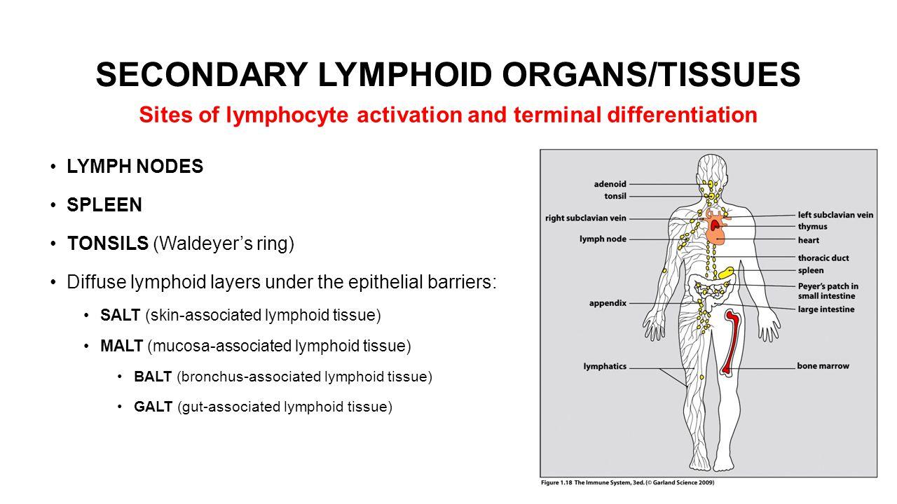 SECONDARY LYMPHOID ORGANS/TISSUES LYMPH NODES SPLEEN TONSILS (Waldeyer's ring) Diffuse lymphoid layers under the epithelial barriers: SALT (skin-assoc