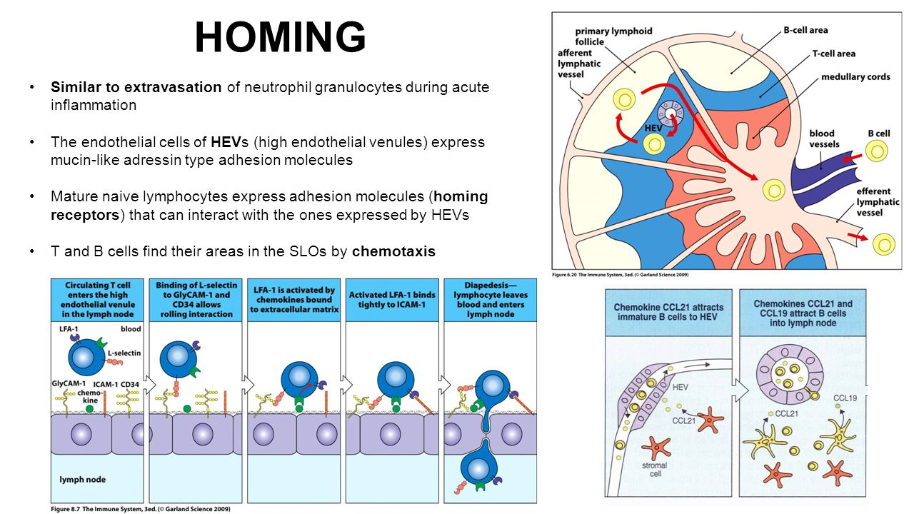HOMING Similar to extravasation of neutrophil granulocytes during acute inflammation The endothelial cells of HEVs (high endothelial venules) express mucin-like adressin type adhesion molecules Mature naive lymphocytes express adhesion molecules (homing receptors) that can interact with the ones expressed by HEVs T and B cells find their areas in the SLOs by chemotaxis