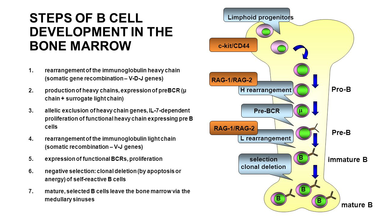 Limphoid progenitors mature B H rearrangement Pre-BCR L rearrangement selection clonal deletion B B B B  Pro-B Pre-B c-kit/CD44 RAG-1/RAG-2 STEPS OF B CELL DEVELOPMENT IN THE BONE MARROW 1.rearrangement of the immunoglobulin heavy chain (somatic gene recombination – V-D-J genes) 2.production of heavy chains, expression of preBCR (μ chain + surrogate light chain) 3.allelic exclusion of heavy chain genes, IL-7-dependent proliferation of functional heavy chain expressing pre B cells 4.rearrangement of the immunoglobulin light chain (somatic recombination – V-J genes) 5.expression of functional BCRs, proliferation 6.negative selection: clonal deletion (by apoptosis or anergy) of self-reactive B cells 7.mature, selected B cells leave the bone marrow via the medullary sinuses immature B