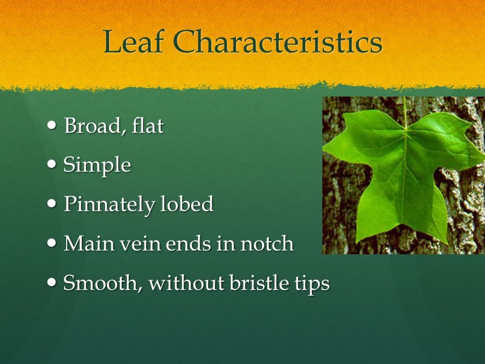 Leaf Characteristics Broad, flat Broad, flat Simple Simple Pinnately lobed Pinnately lobed Main vein ends in notch Main vein ends in notch Smooth, without bristle tips Smooth, without bristle tips