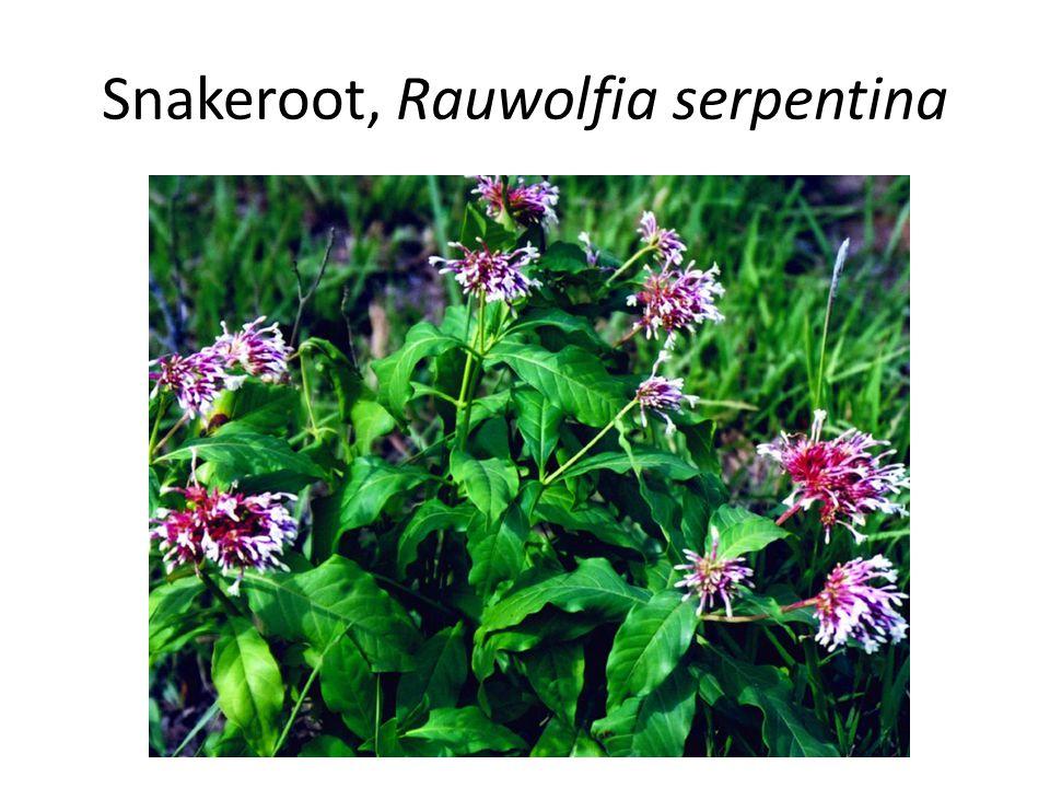 Snakeroot, Rauwolfia serpentina