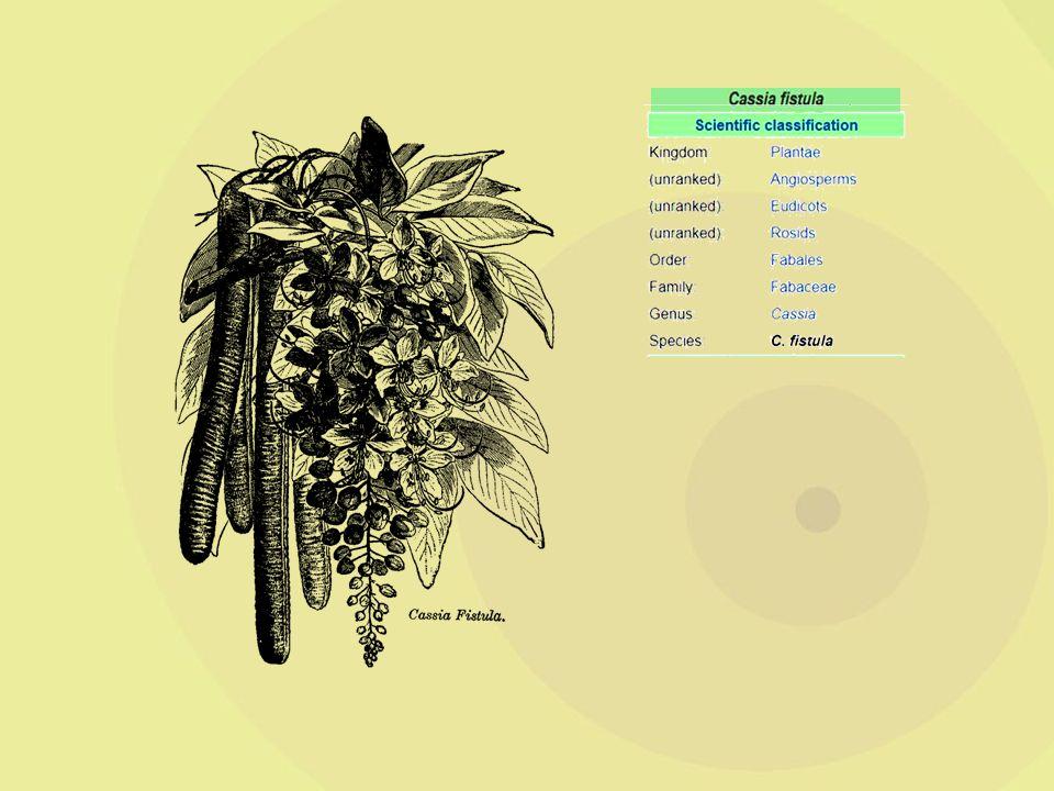 כסית האבוב Cassia fistula שם עממי: Indian golden shower מוצא: הודו מקור הכסיה באזור אסיה הטרופית.