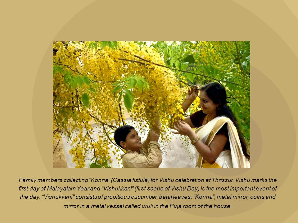 "Family members collecting ""Konna"" (Cassia fistula) for Vishu celebration at Thrissur. Vishu marks the first day of Malayalam Year and ""Vishukkani"" (fi"