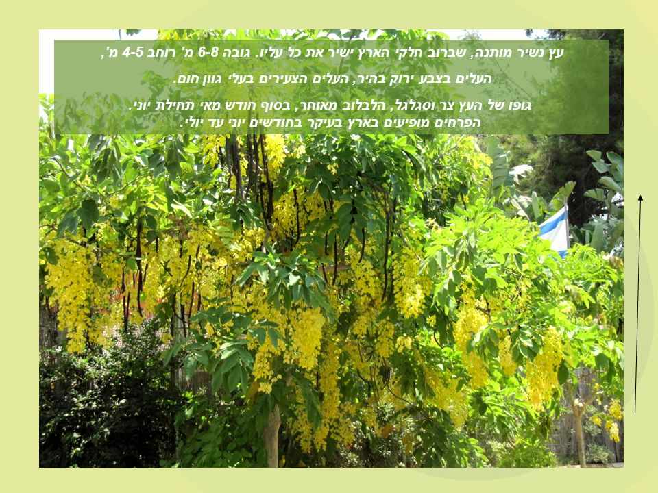 Cassia fistula, known as the Golden Shower Tree but see below for other names, is a flowering plant in the family Fabaceae, native to southern Asia, from southern Pakistan east through India to Myanmar and south to Sri Lanka.