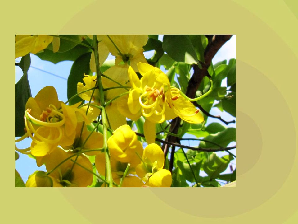 הדבורים נמשכים לאבקנים הנמצאים בפרח כבכל שאר הפרחים, ואל הצופנים הנמצאים בבסיס העלים extra -floral, nectaries) ).