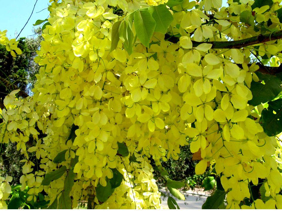 כסיה האבובים הוא הפרח הלאומי של תאילנד.