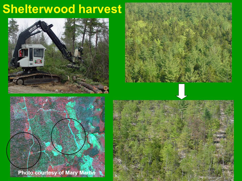 Shelterwood harvest Started Nov. 2001 Ended April 2002 Cut to length and forwarded Removed about 1/3 of basal area and leaf area Photo courtesy of Mar