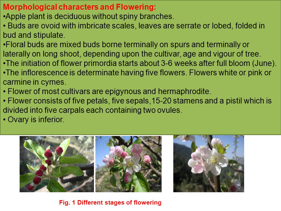 Morphological characters and Flowering: Apple plant is deciduous without spiny branches.