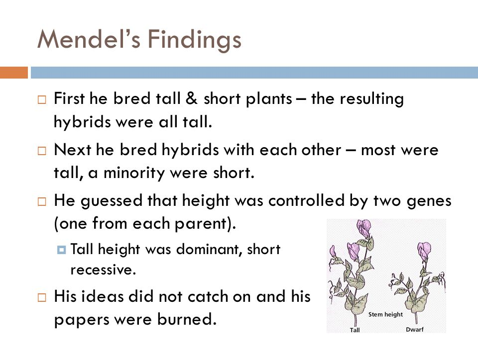 Mendel's Findings  First he bred tall & short plants – the resulting hybrids were all tall.