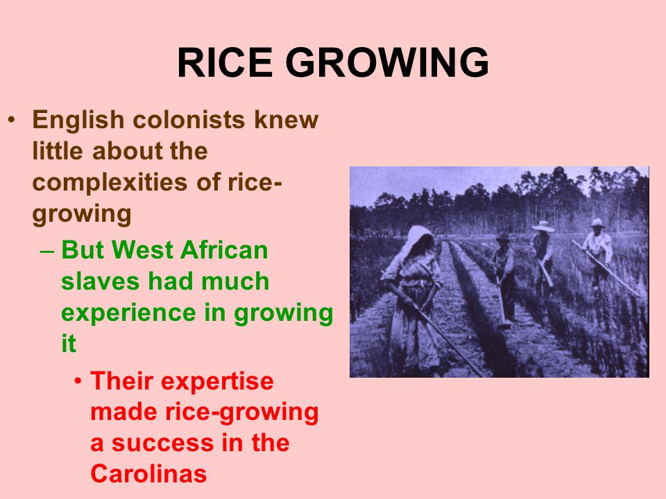 RICE GROWING English colonists knew little about the complexities of rice- growing –But West African slaves had much experience in growing it Their ex