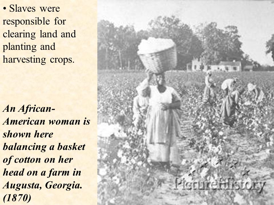 This is a young African American child working in a cotton field.