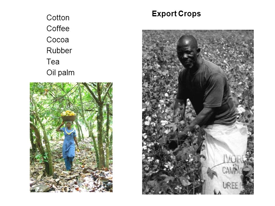 Export Crops Cotton Coffee Cocoa Rubber Tea Oil palm