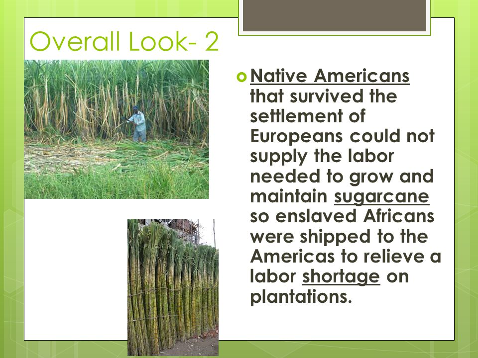 Overall Look- 2  Native Americans that survived the settlement of Europeans could not supply the labor needed to grow and maintain sugarcane so ensla