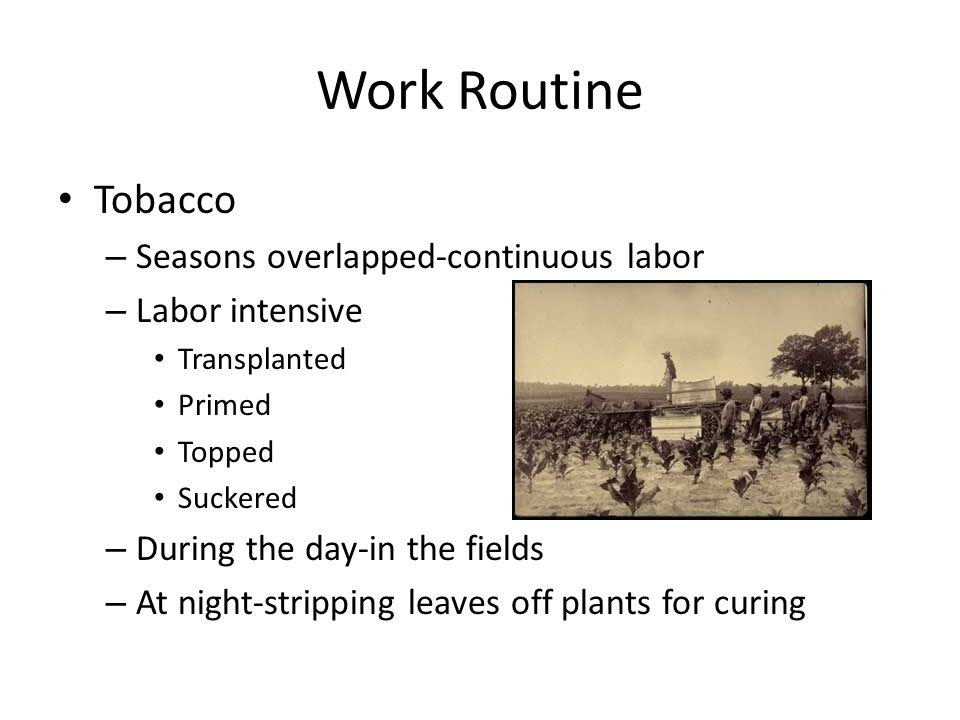 Work Routine Tobacco – Seasons overlapped-continuous labor – Labor intensive Transplanted Primed Topped Suckered – During the day-in the fields – At n