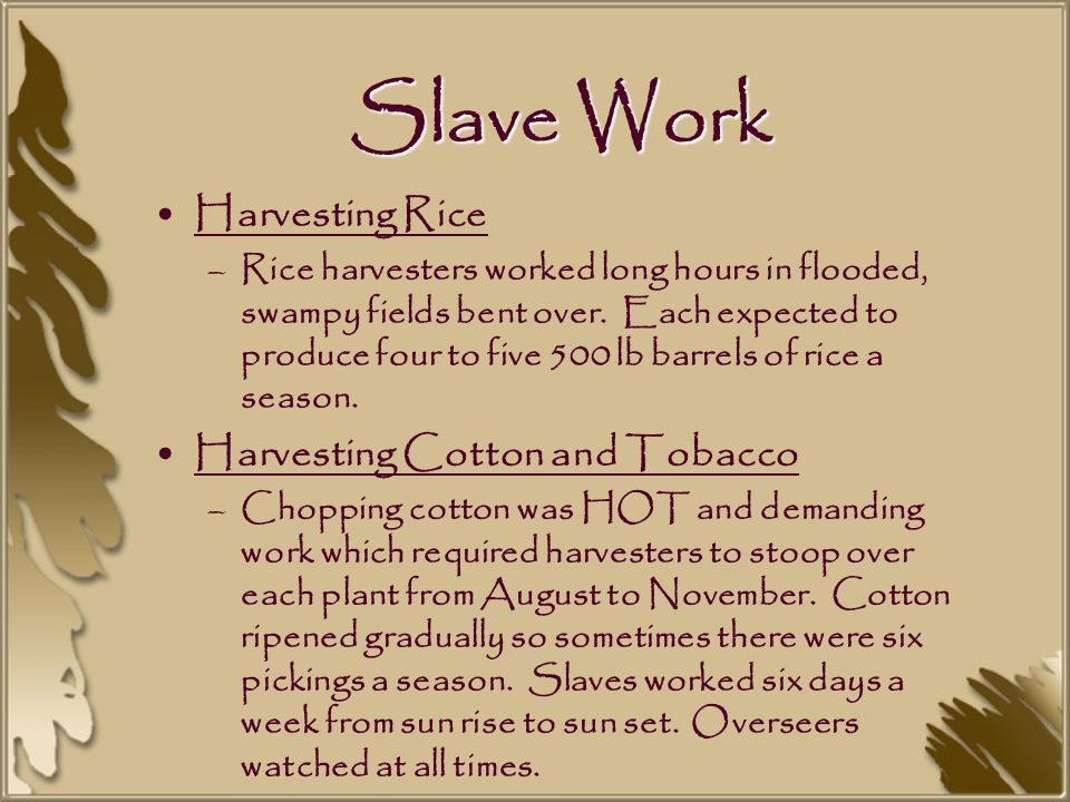 Slave Work Harvesting Rice –Rice harvesters worked long hours in flooded, swampy fields bent over.