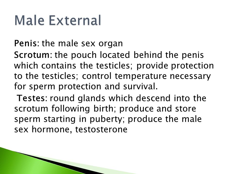 Penis: the male sex organ Scrotum: the pouch located behind the penis which contains the testicles; provide protection to the testicles; control tempe