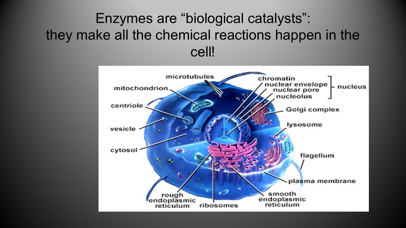 "Enzymes are ""biological catalysts"": they make all the chemical reactions happen in the cell!"