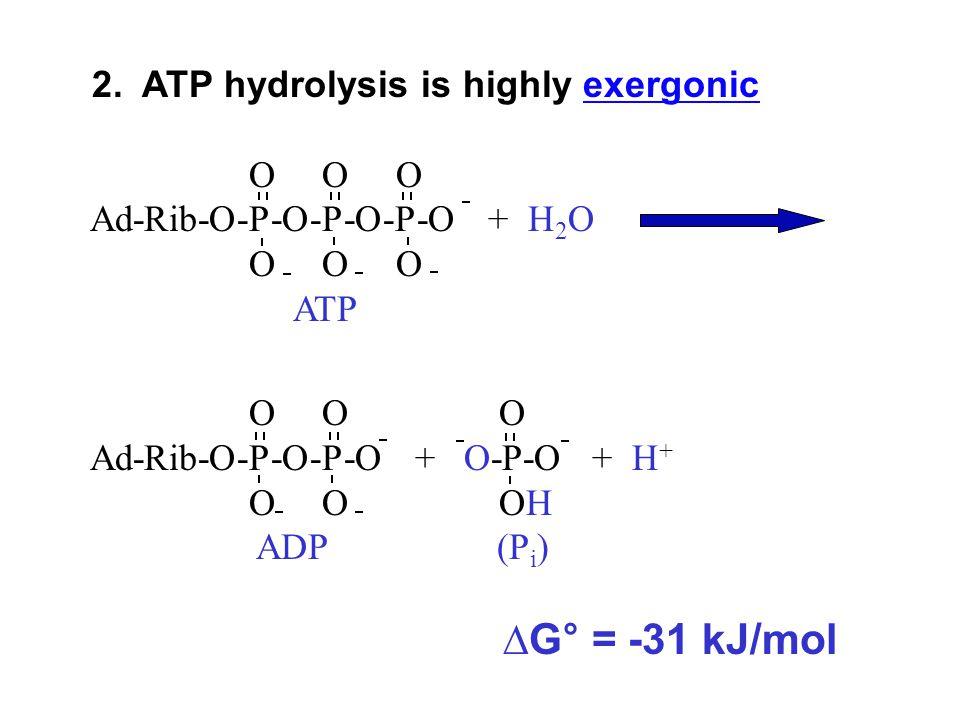 O O O Ad-Rib-O-P-O-P-O + O-P-O + H + O O OH ADP (P i ) ∆G° = -31 kJ/mol 2. ATP hydrolysis is highly exergonicexergonic O O O Ad-Rib-O-P-O-P-O-P-O + H