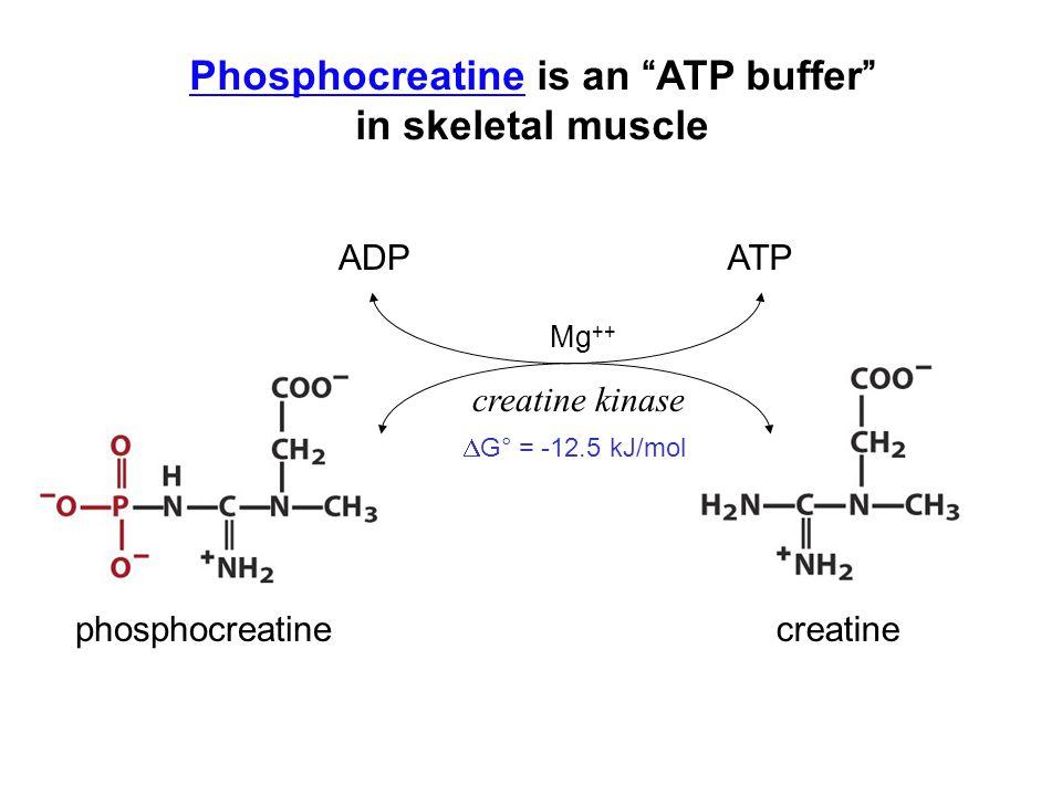 """PhosphocreatinePhosphocreatine is an """"ATP buffer"""" in skeletal muscle ATPADP creatine kinase phosphocreatinecreatine  G° = -12.5 kJ/mol Mg ++"""