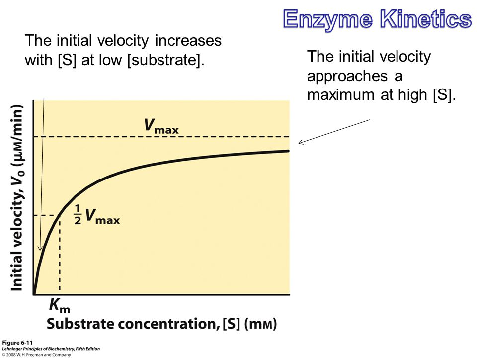 The initial velocity approaches a maximum at high [S]. The initial velocity increases with [S] at low [substrate].