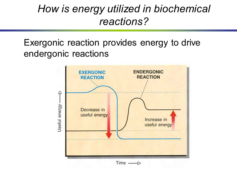 How is energy utilized in biochemical reactions? Exergonic reaction provides energy to drive endergonic reactions