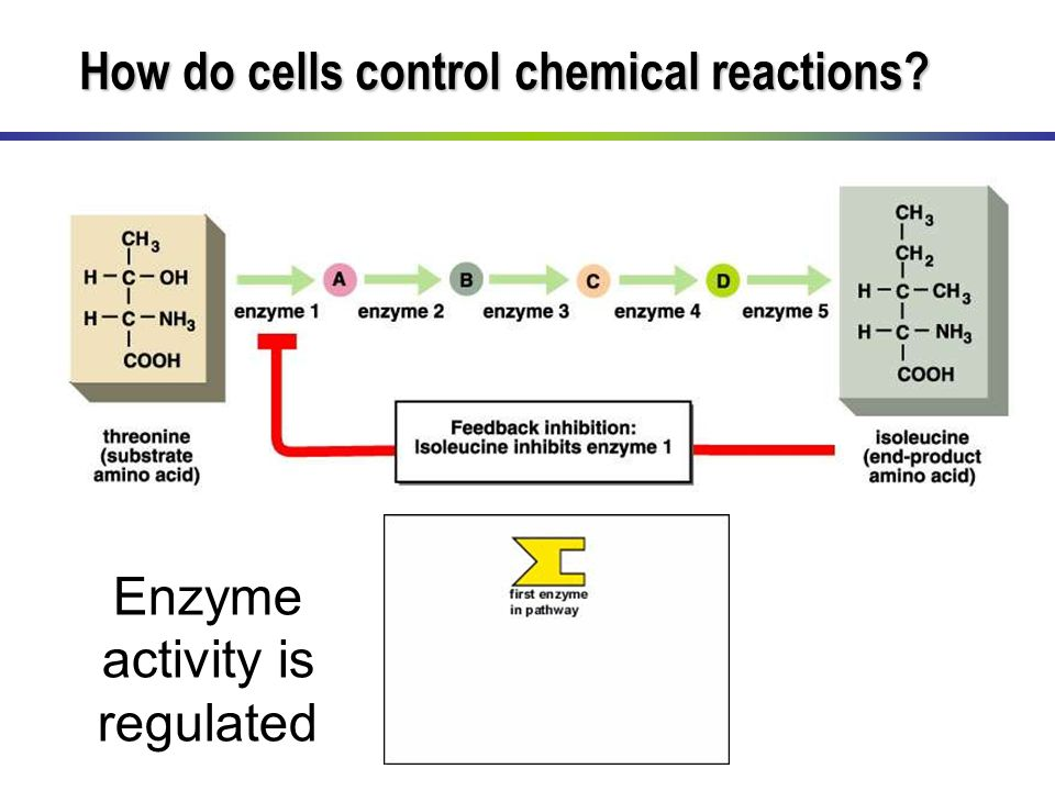 Enzyme activity is regulated How do cells control chemical reactions?