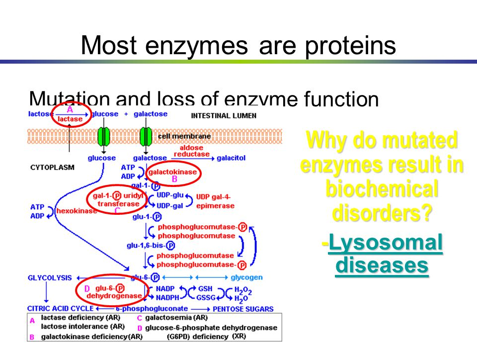 Most enzymes are proteins Mutation and loss of enzyme function Why do mutated enzymes result in biochemical disorders? -Lysosomal diseases Lysosomal d