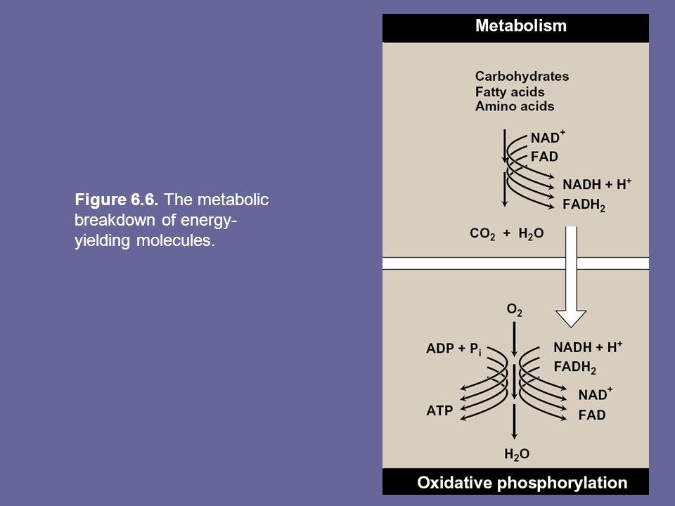Figure 6.6. The metabolic breakdown of energy- yielding molecules.