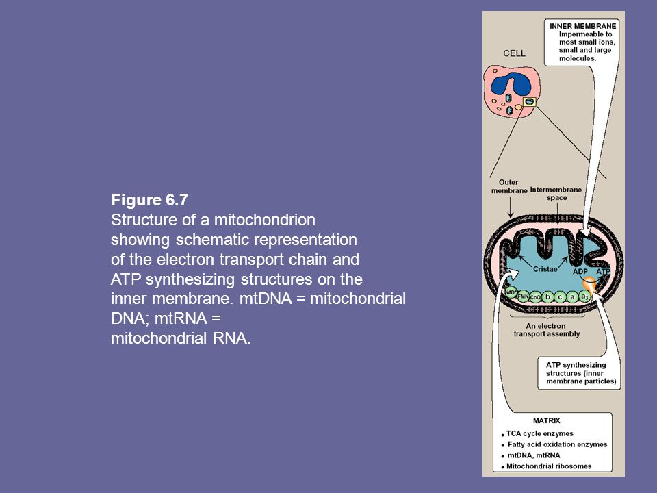 Figure 6.7 Structure of a mitochondrion showing schematic representation of the electron transport chain and ATP synthesizing structures on the inner membrane.
